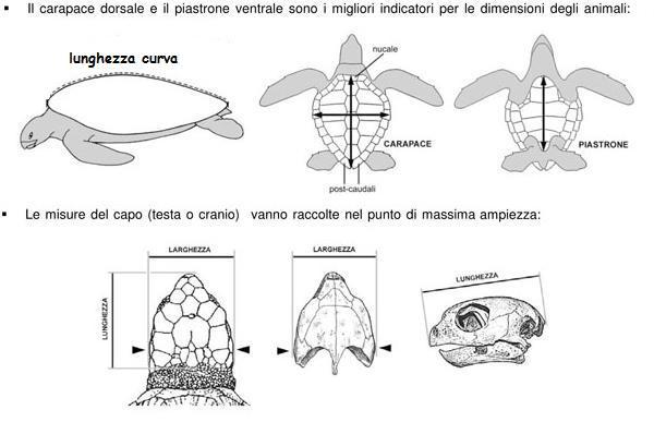tabella tartarughe Venezia