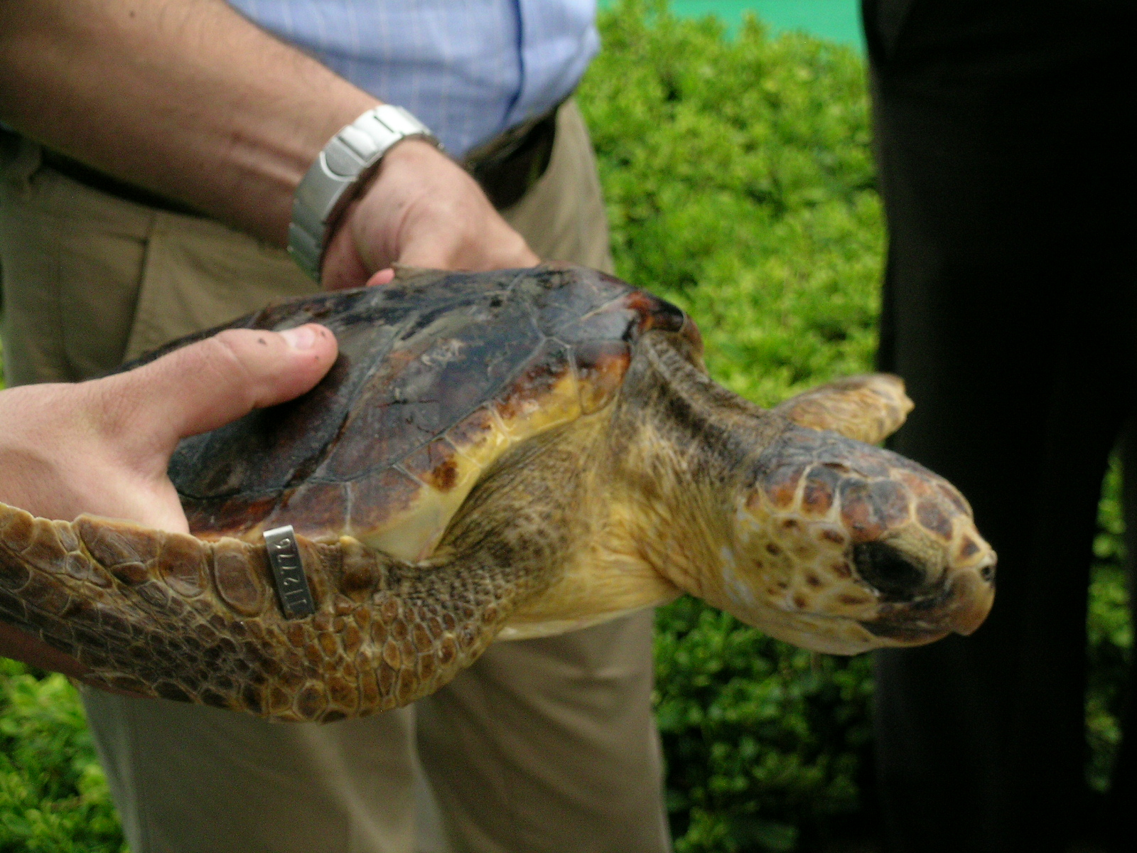tartarugamarinaCarettacarettaMareAdriatico-Perlasca