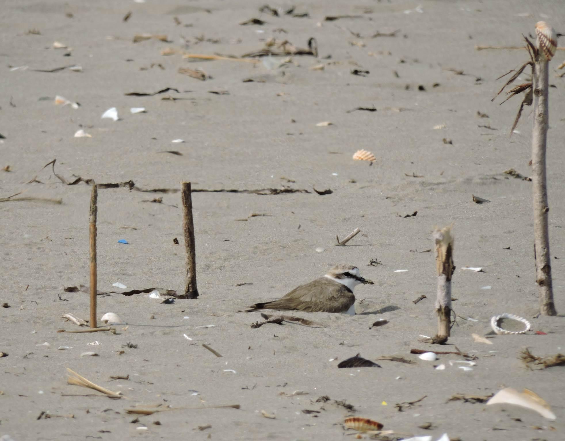 Il fratino depone le uova nella spiaggia delle Dune Alberoni al Lido di Venezia